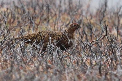 IMG_2185 Red grouse