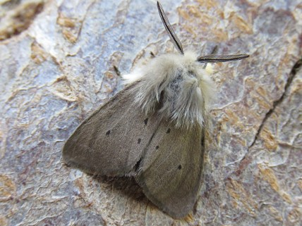 IMG_2311 Muslin moth