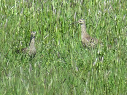 IMG_2454 Whimbrel