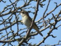IMG_2463 Sedge warbler
