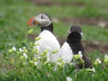 IMG_3613 Puffins