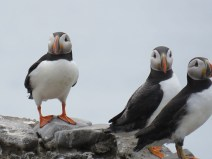 IMG_3648 Puffins
