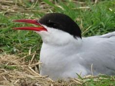 IMG_3700 Arctic tern