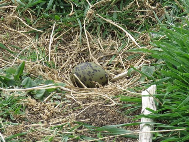 IMG_3719 tern egg