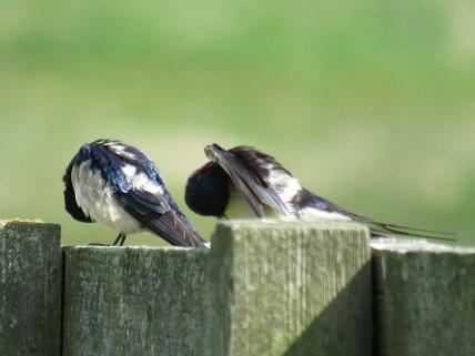 IMG_3859 swallows