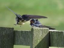 IMG_3868 swallows