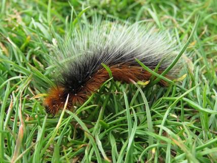 IMG_3895 caterpilla