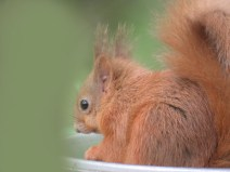 IMG_4084 Red squirrel