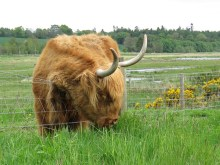 IMG_4156 highland cattle