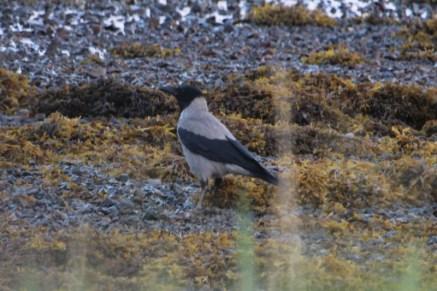 IMG_2641 hooded crow