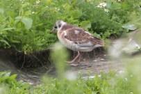 IMG_3016 B H Gull chick