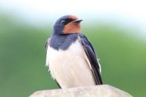 IMG_3044 Swallow