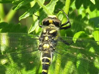 IMG_4955 golden ringed dragonfly