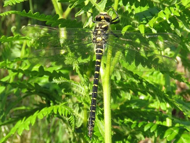 IMG_4957 golden ringed dragonfly