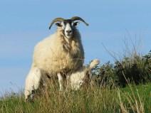 IMG_4959 SHEEP
