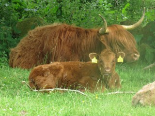 IMG_5139 cattle