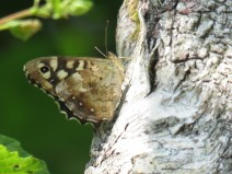 IMG_5161 speckled wood