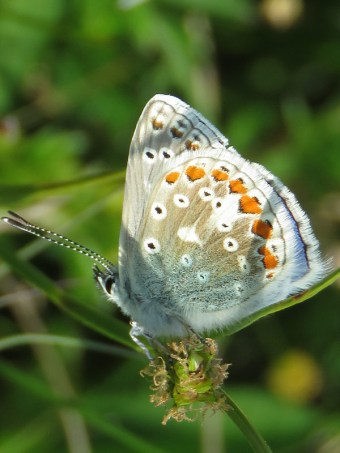 IMG_5431 blue butterfly