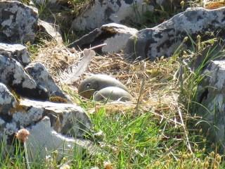 IMG_5696 common gull eggs