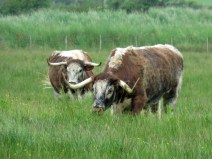 IMG_5851 cattle