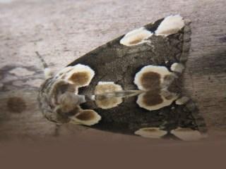 IMG_5900 peach blossom moth