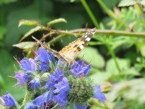 IMG_6063 Painted lady