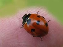 IMG_6140 ladybird