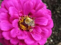 IMG_7602 Sizergh castle gardens bee