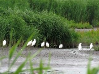 IMG_7820 egrets
