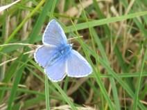 IMG_7900 Common blue