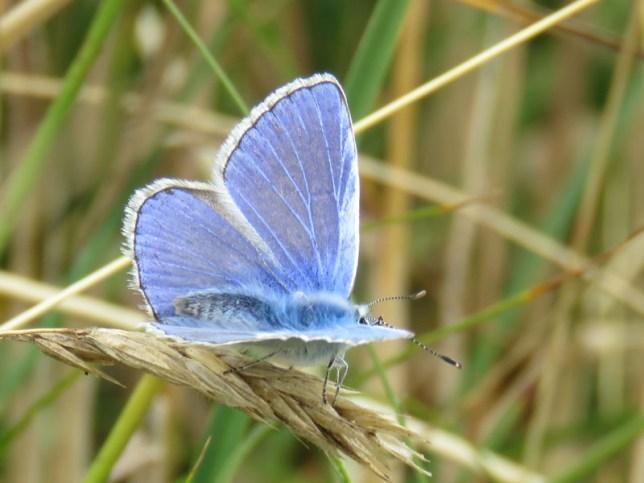 IMG_7905 Common blue