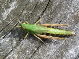 IMG_8901 Grasshopper
