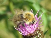 IMG_8986 Bee