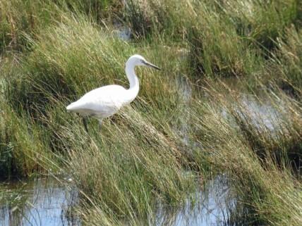 img_9331-egret