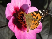 img_9605-painted-lady