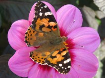 img_9618-painted-lady