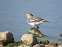 img_9737-jeuv-pied-wagtail