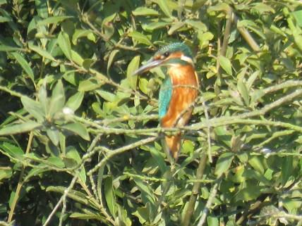 img_9751-kingfisher