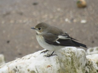 img_0945-pied-fly