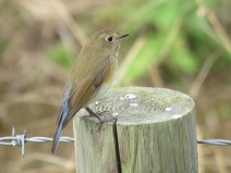 img_1017-red-flanked-bluetail