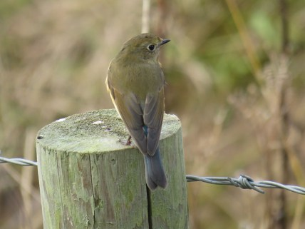 img_1021-red-flanked-bluetail