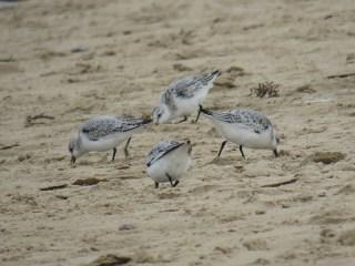img_1231-sanderling