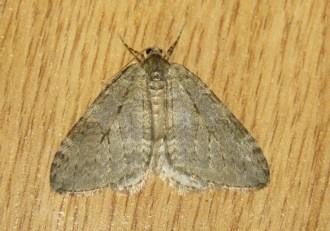 november-moth_