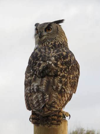 img_1787-european-eagle-owl