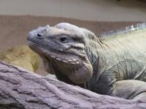 img_1991-rhino-iguana