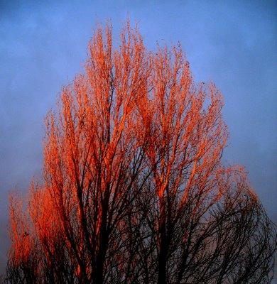 copac-rosu-bun