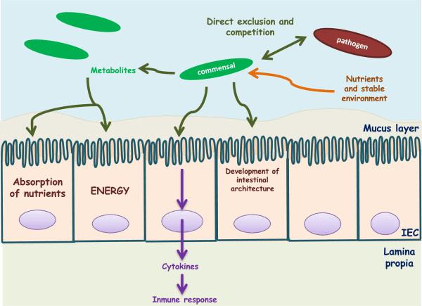 Comensal-bacteria-cross-talk-talk-with-the-host-Commensal-bacteria-supply-the-host-with.png