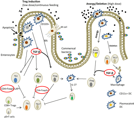Mechanism-of-induction-of-oral-tolerance-in-the-gut-in-mammals-adapted-from-Ref-36
