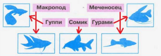 Узнай аквариумных рыбок по силуэтам. Укажи стрелками названия. Макропод, гуппи, сомик, меченосец, гурами