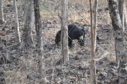 Sloth Bear in Madhai Region II